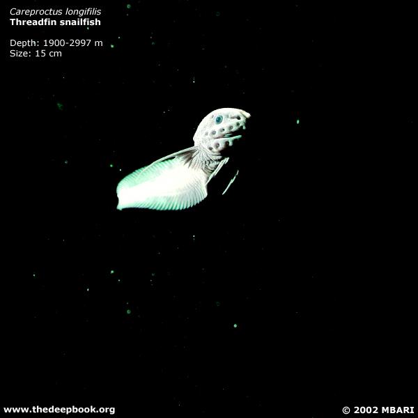 Careproctus longifilis